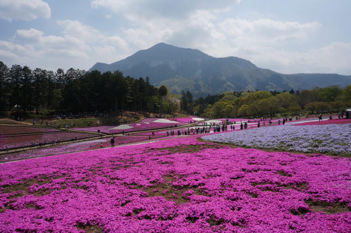 芝桜武甲山2