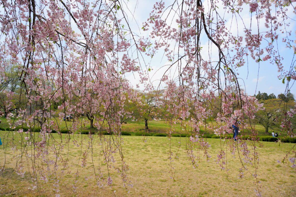 枝垂れ桜秩父3