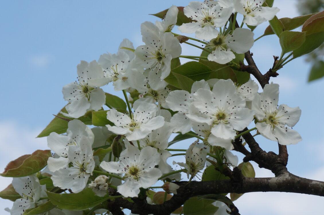 見晴らしの丘桜