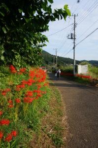 巾着田まで道脇の花