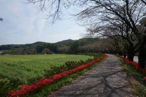 巾着田桜のき