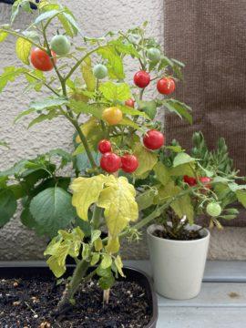 トマト苗2