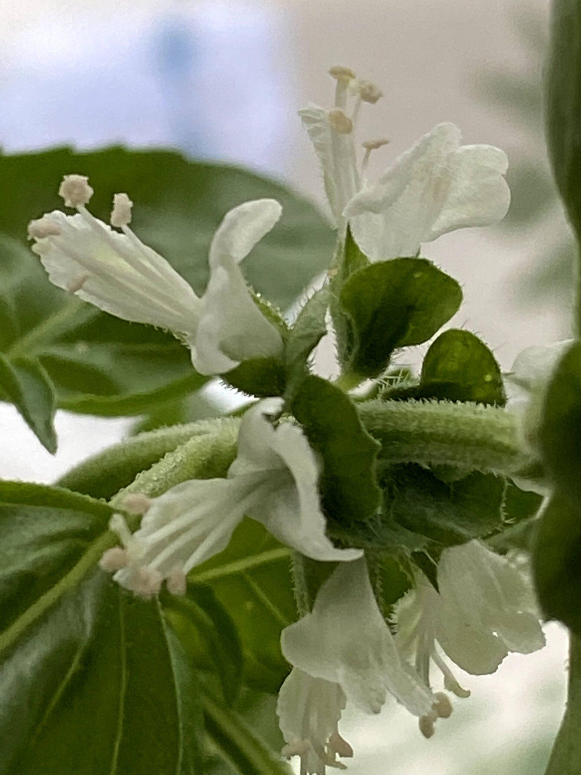 バジルの花2