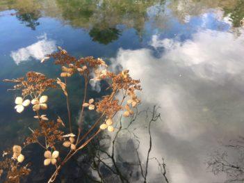 雲場池紫陽花