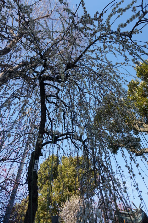 枝垂れ白梅2