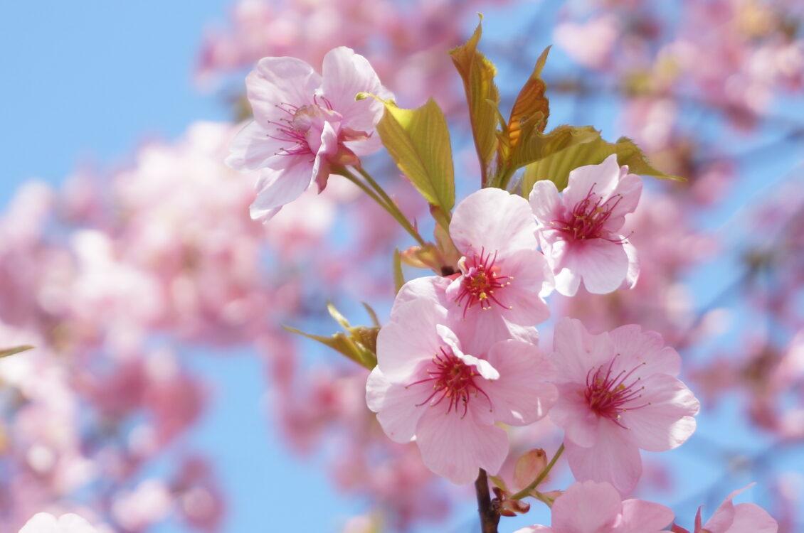 ぼたん苑桜2