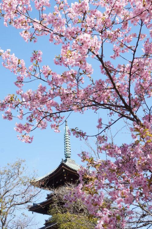 ぼたん苑桜