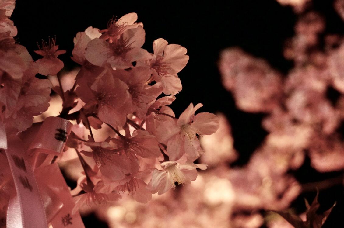 桜神宮夜7