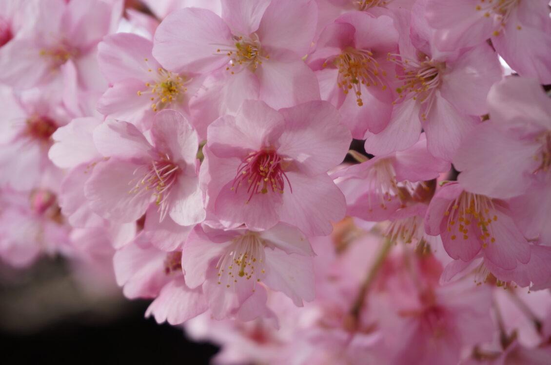 桜神宮10
