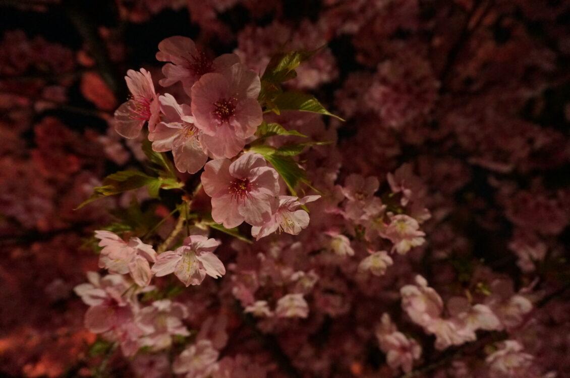 桜神宮夜13