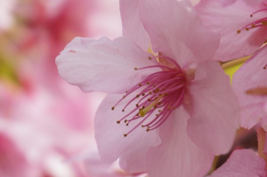 桜神宮桜アップ