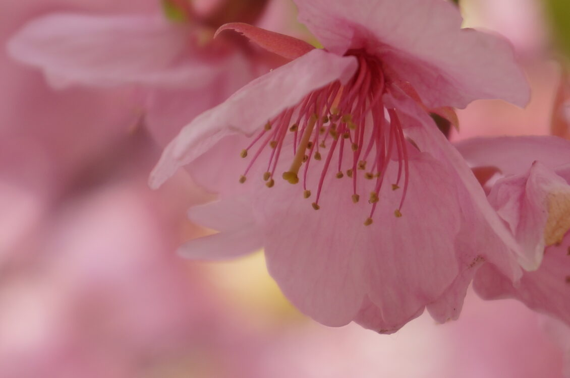 桜神宮11