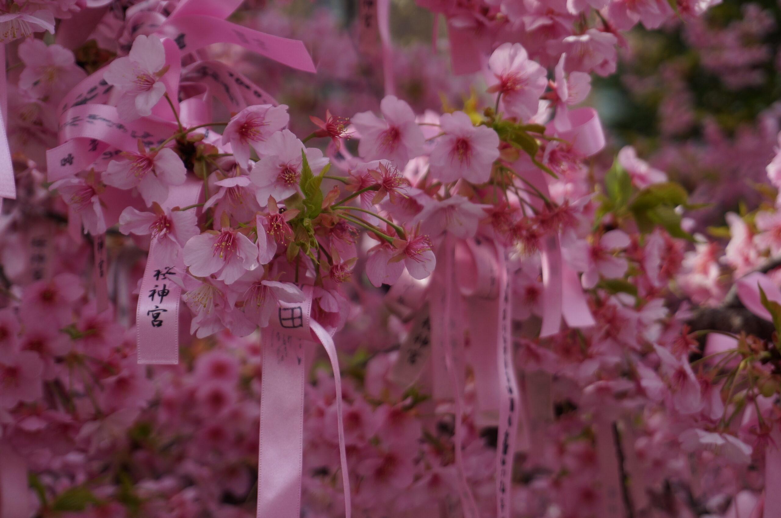 桜神宮アイキャッチ