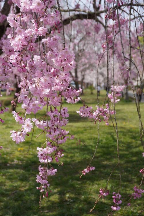 羊山桜10