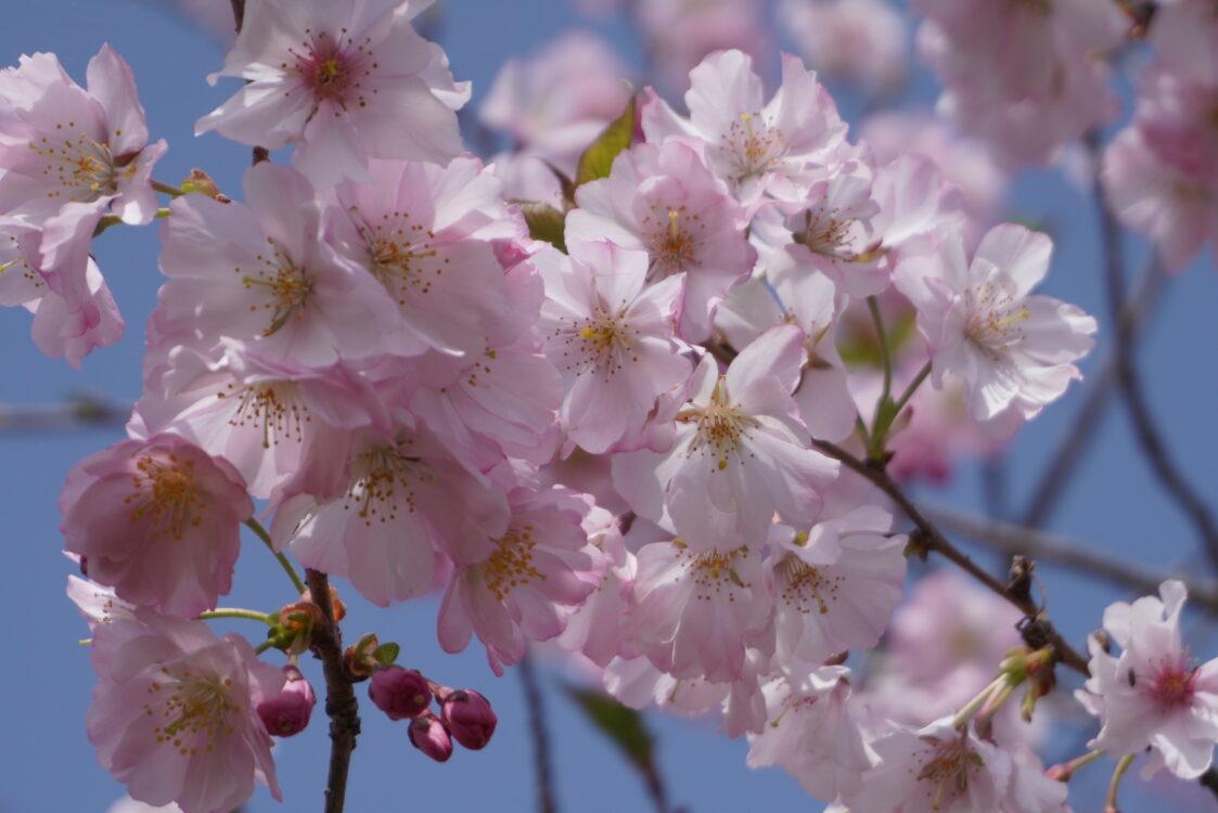 羊山桜11