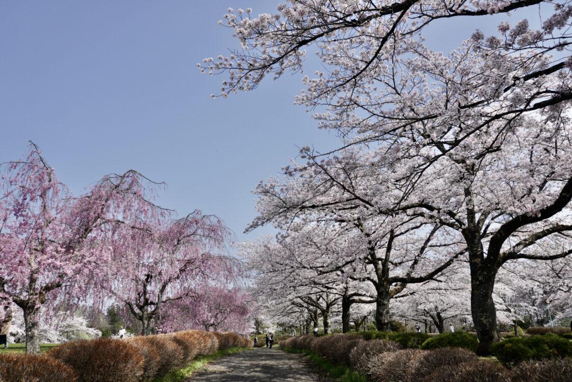 羊山桜13