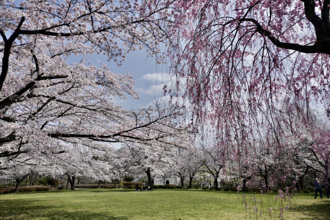 羊山桜14