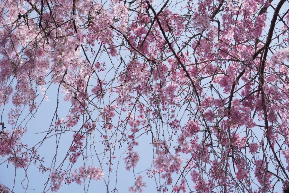 羊山桜18
