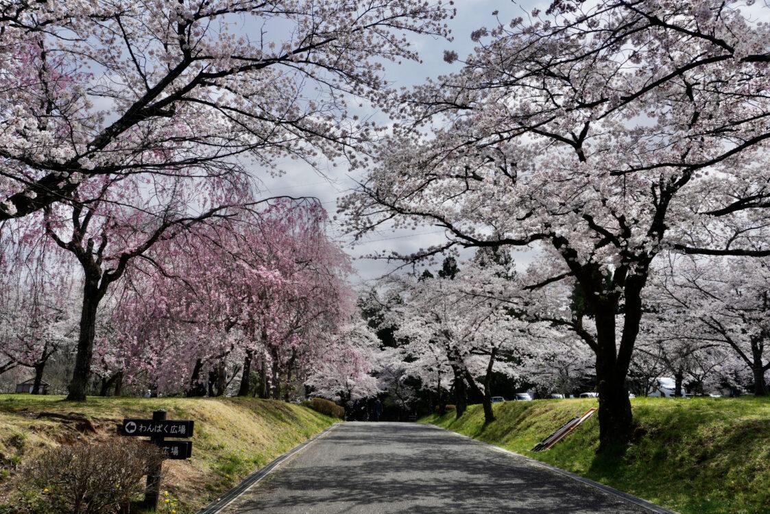 羊山桜16