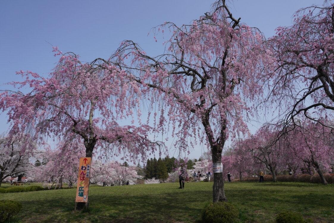 羊山桜17