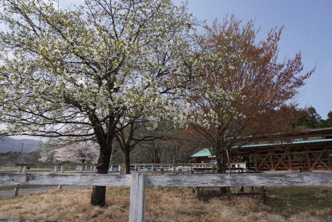 羊山桜20