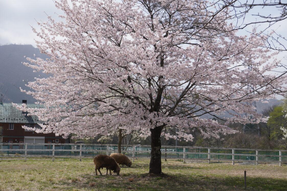 羊山桜21