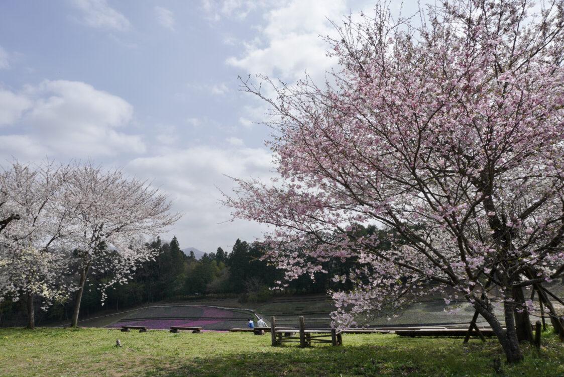 羊山桜24