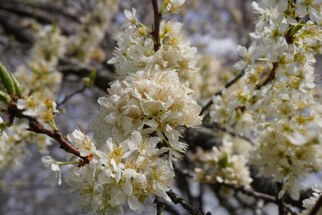 羊山桜25