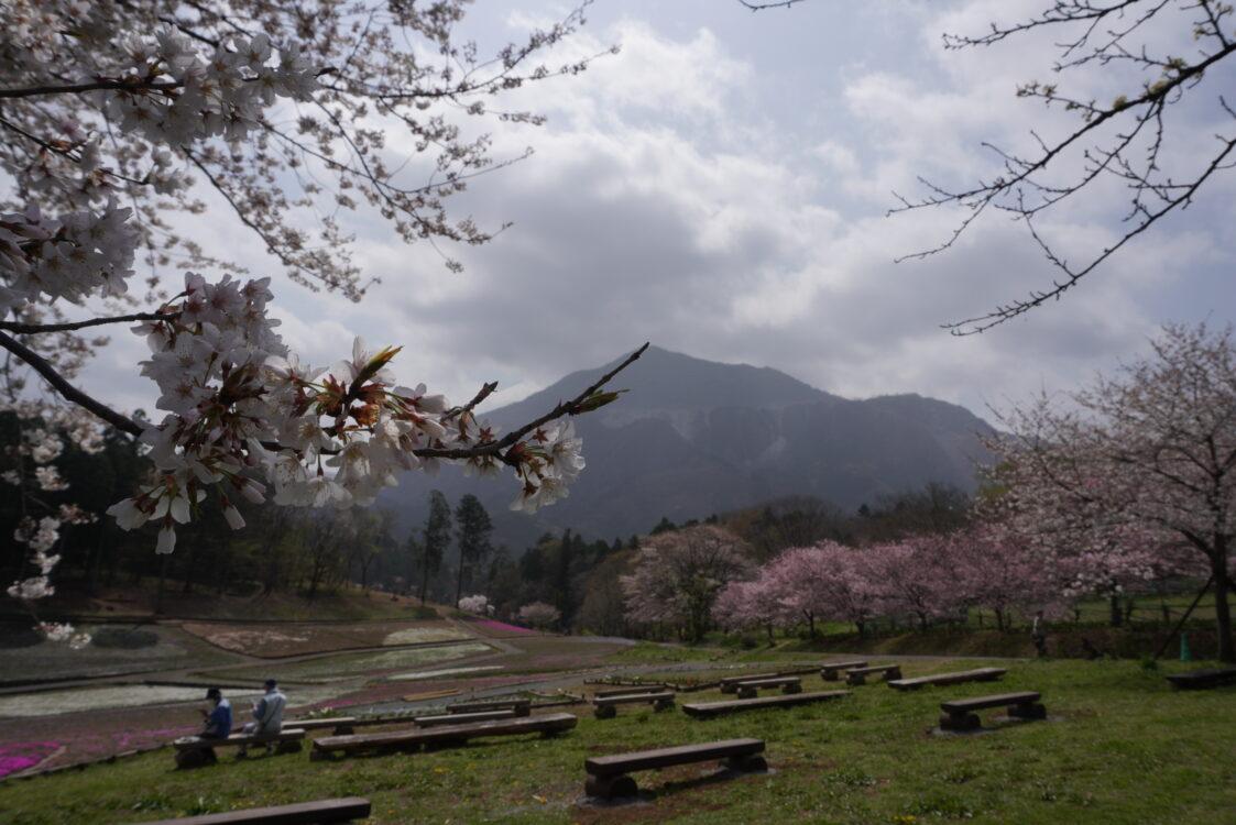 2021羊山芝桜
