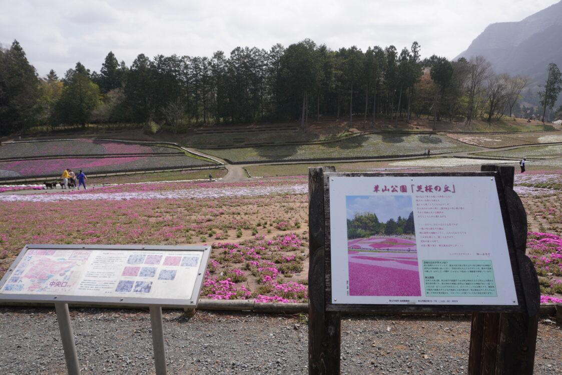 2021羊山芝桜4