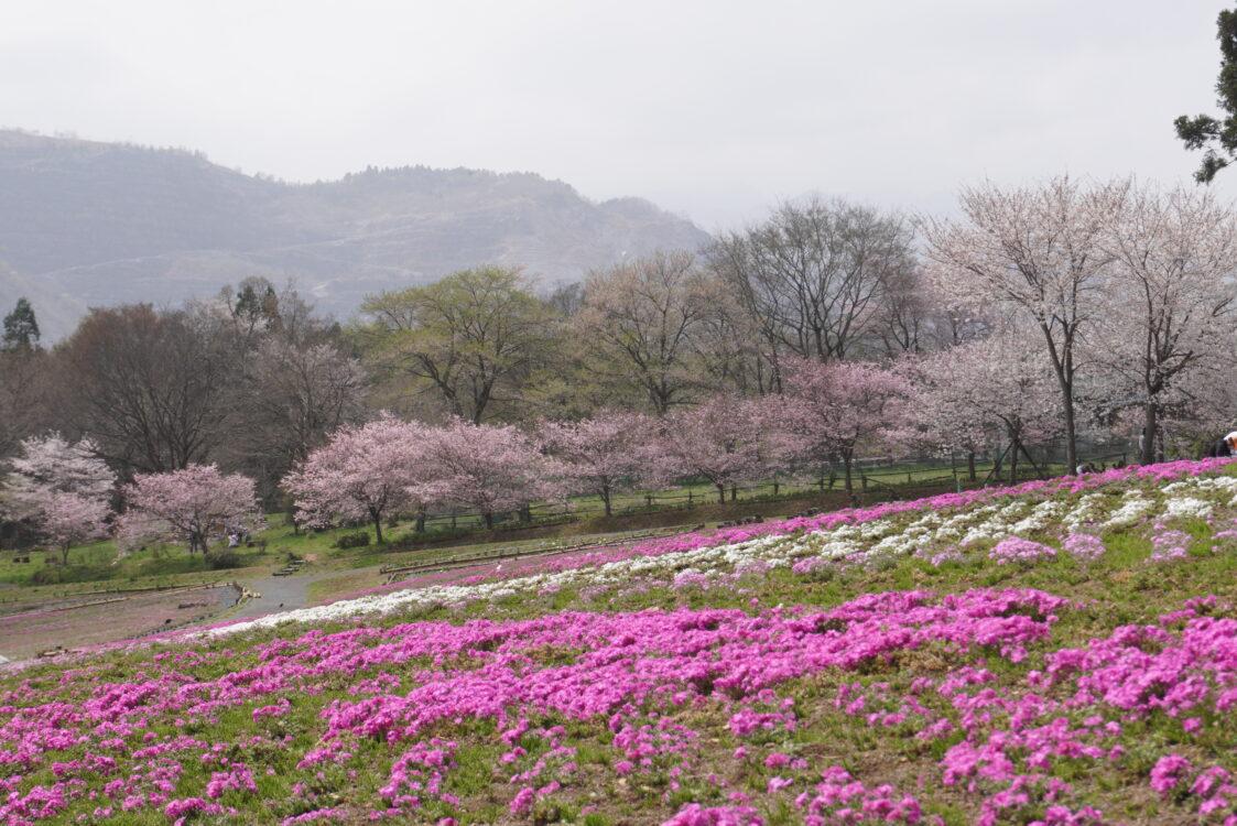 2021羊山芝桜10
