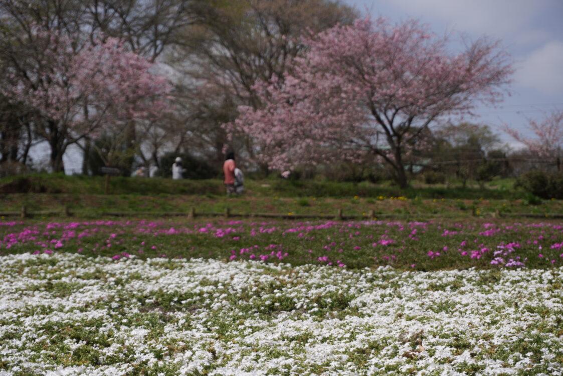 2021羊山芝桜14