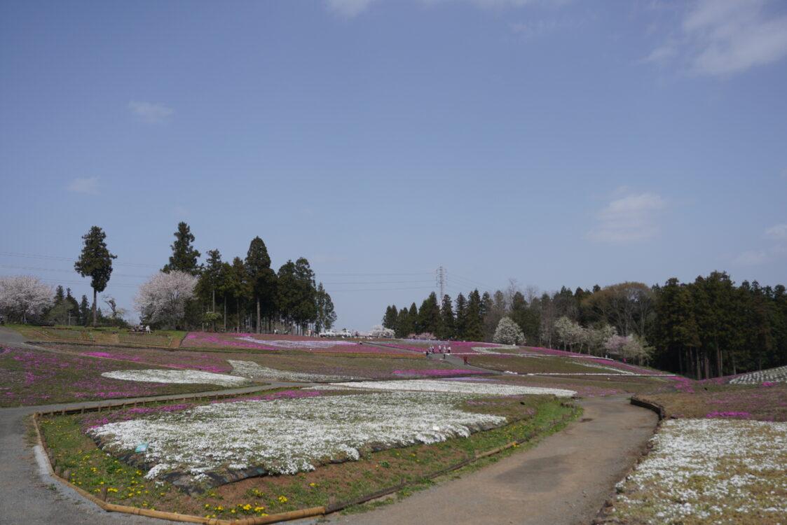 2021羊山芝桜15