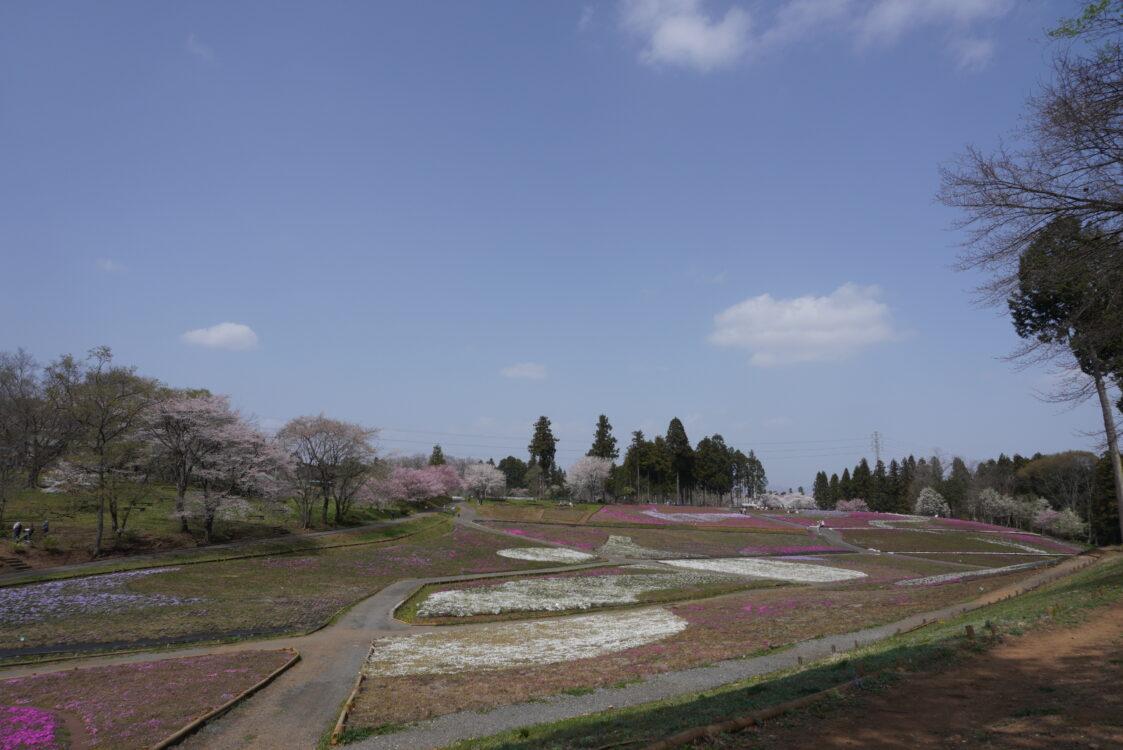 2021羊山芝桜19