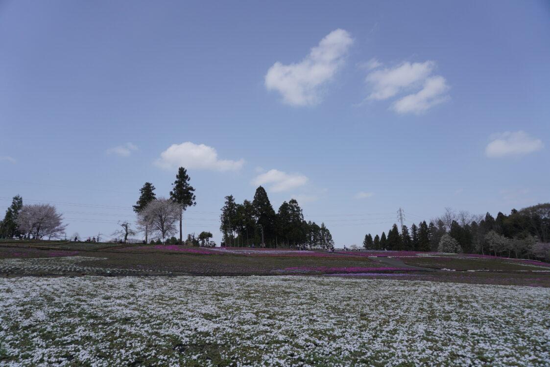 2021羊山芝桜20