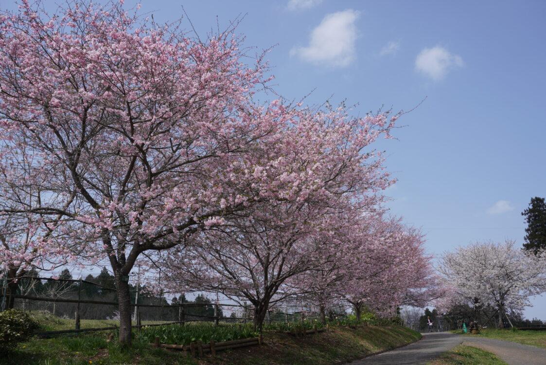 羊山桜26