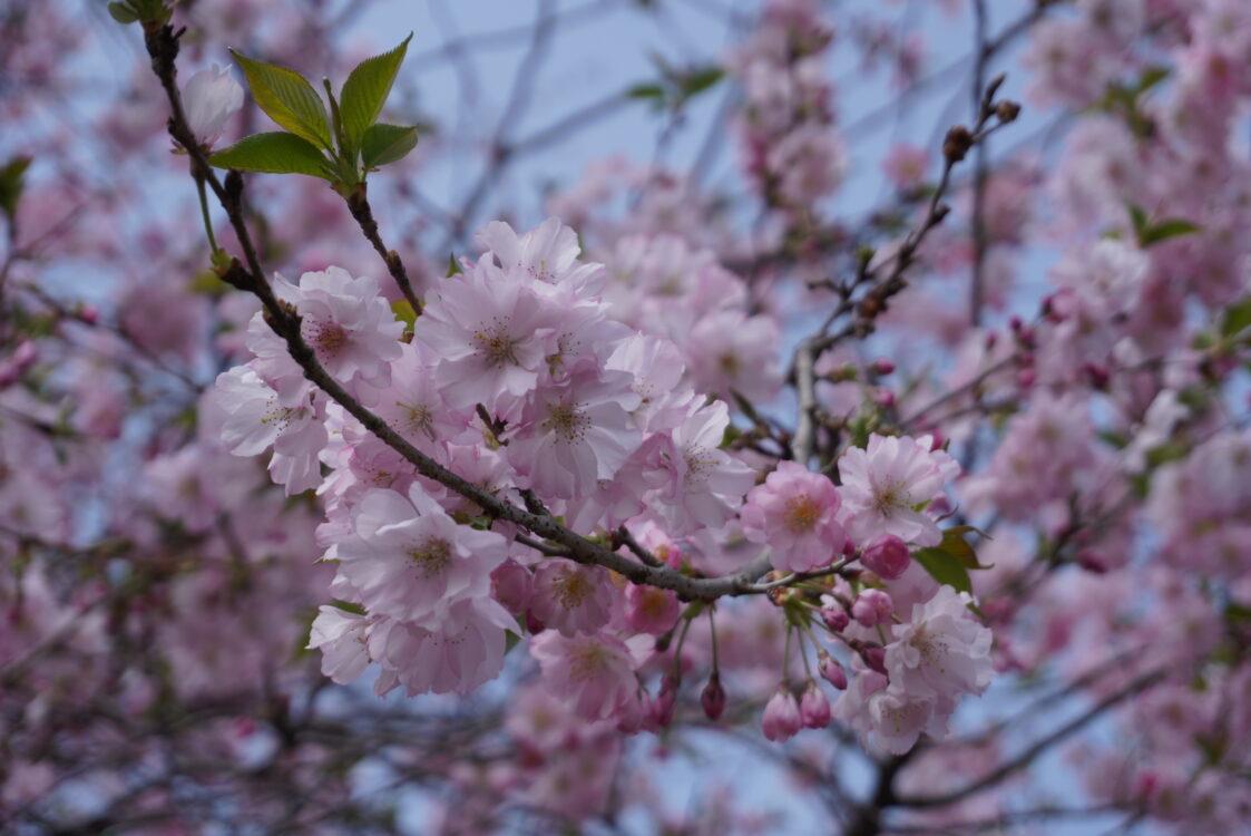 羊山桜27