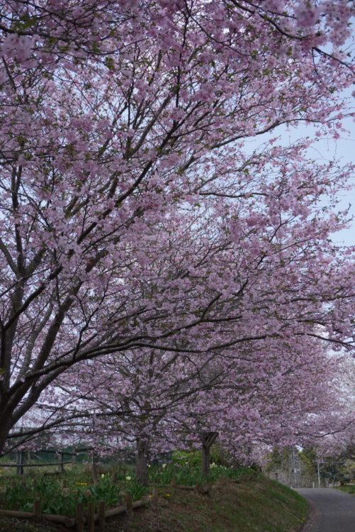 羊山桜28