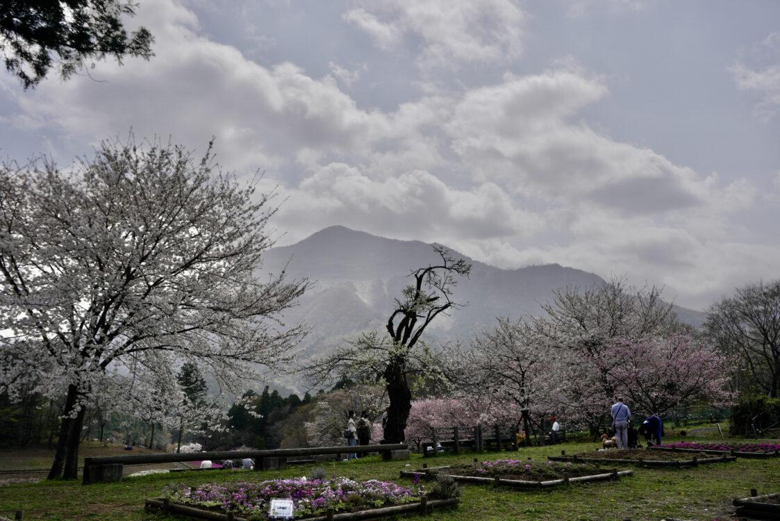 羊山桜30