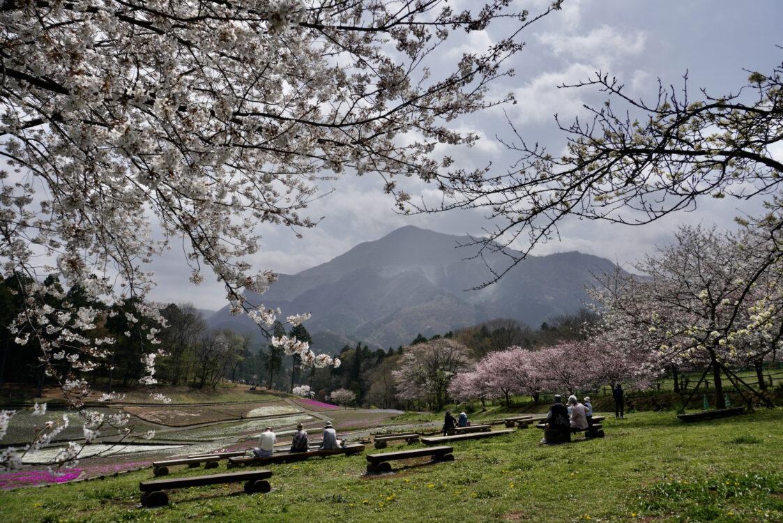 羊山桜31