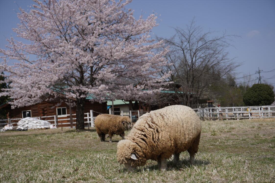 羊山桜22
