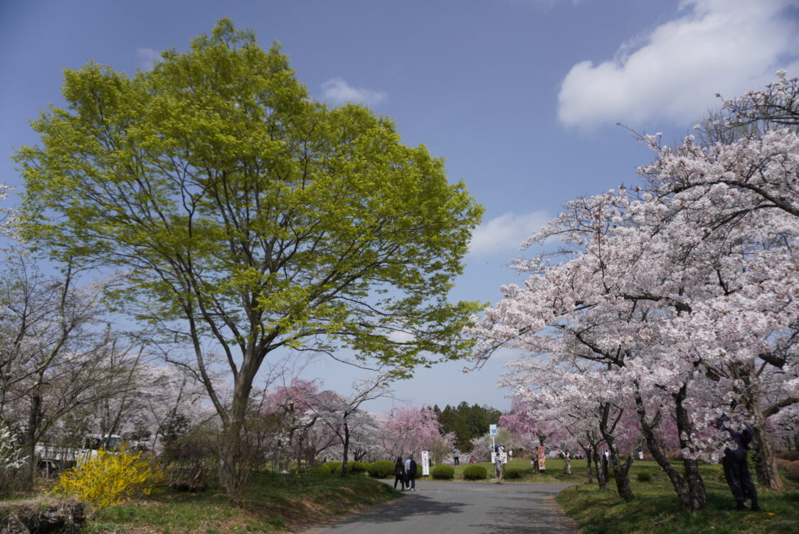 羊山桜32