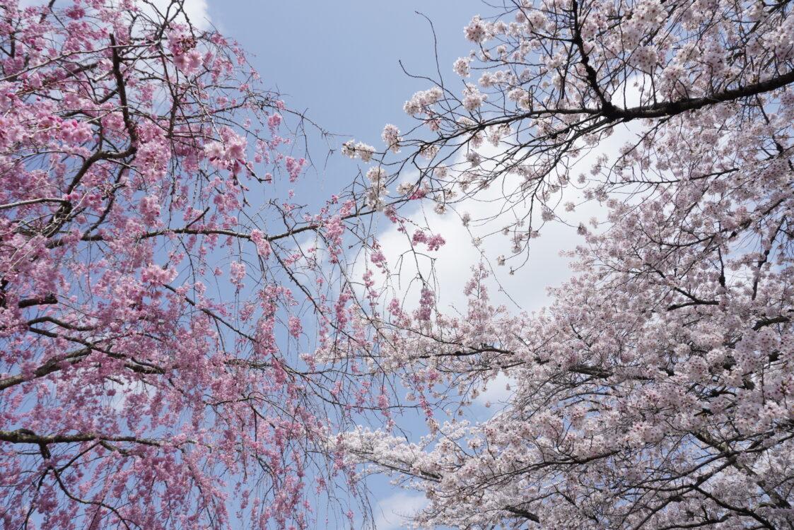 羊山桜33