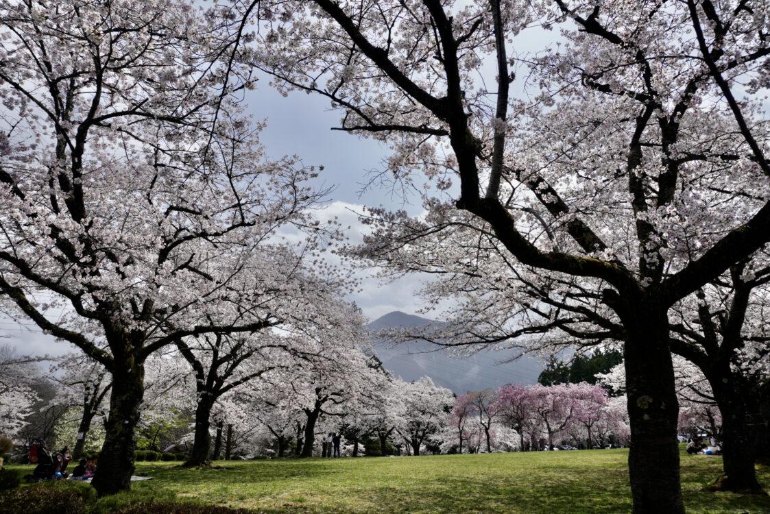 羊山桜34