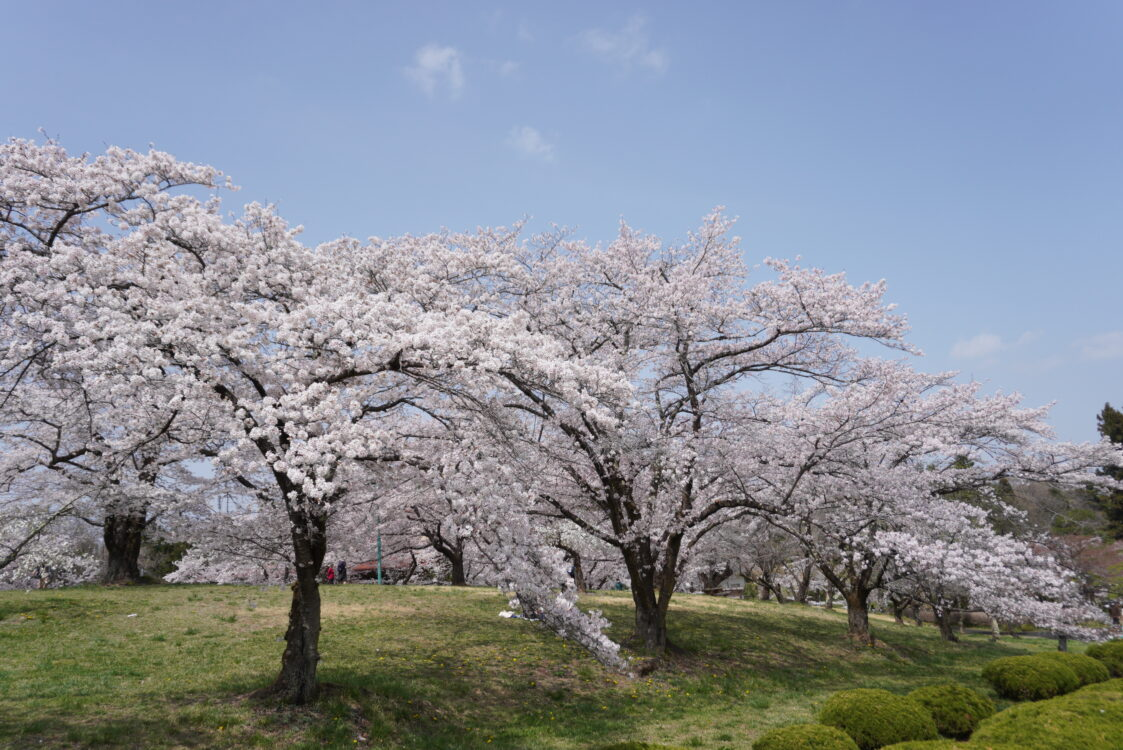 羊山桜35