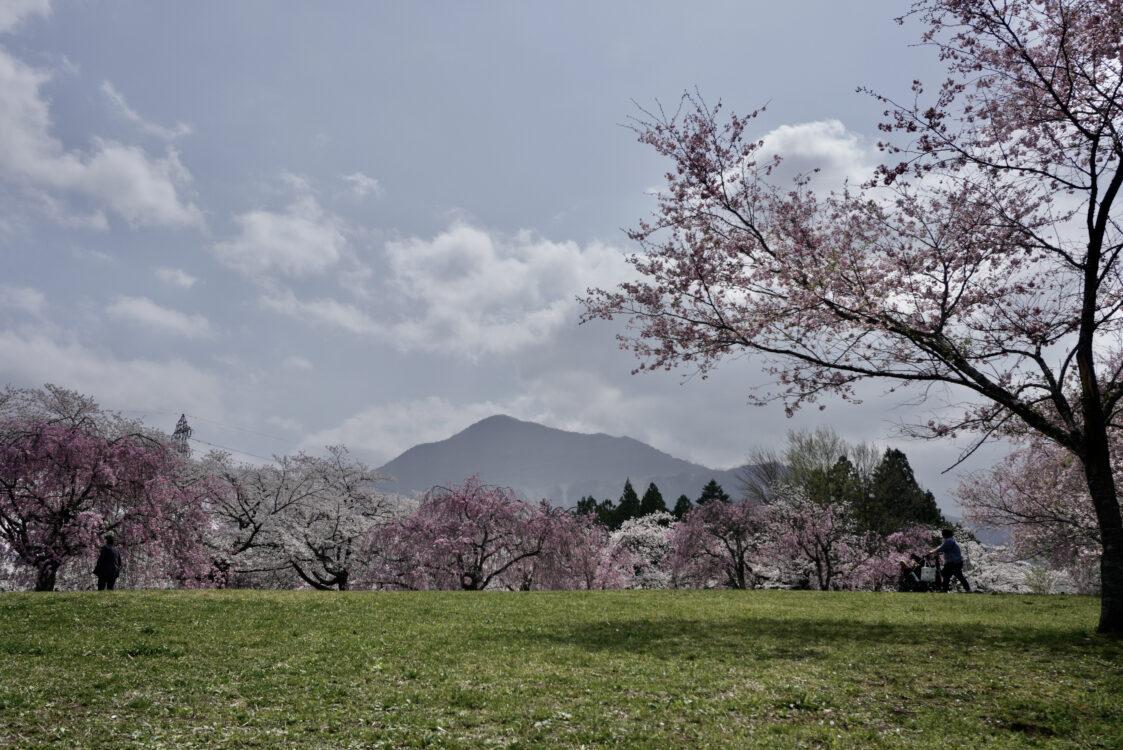 羊山桜36