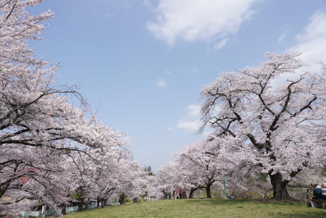 羊山桜37